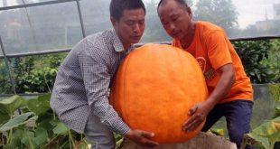 برداشت کدو تنبل 87 کیلوگرمی در چین