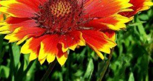 آشنایی با نحوه کاشت و نگهداری از گل رعنا