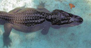 پیرترین تمساح جهان درگذشت!