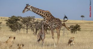 حمله گله شیر گرسنه به بچه زرافه (+تصاویر)
