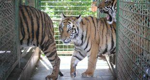 زوایای جدید از مرگ ببرهای باغوحش وکیلآباد