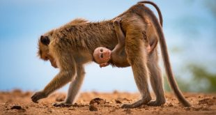 چسبیدن بچه میمون سریلانکایی به مادرش در عکس روز نشنال جئوگرافیک/عکس