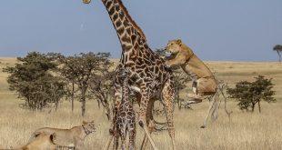 حمله گروهی شیرها به رزافه مادر و فرزندش/ تصاویر