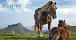 آشنایی با اسب پونی، یک نژاد بسیار زیبا