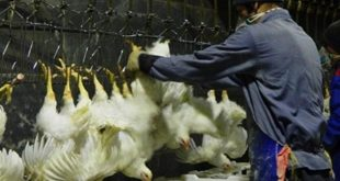 قیمت مرغ در کشتارگاه به 9800 تومان رسید/ مشکلات کامیونداران توزیع مرغ را مختل کرده است