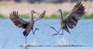 رقص پرندگان روی آب در عکس روز نشنال جئوگرافیک