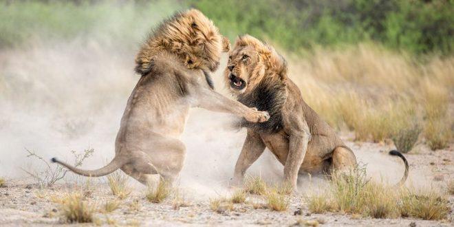 نبرد خونین دو شیر نر در عکس روز نشنال جئوگرافیک