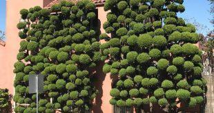 رویش نوعی درختان خاص در سان فرانسیسکو (+تصاویر)