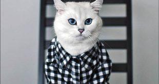 گربه چشم آبی ستاره اینترنت