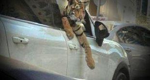 پُز جدید پولدارها؛ حضور حیوانات عظیمالجثه در دور دورهای شبانه شمال تهران!