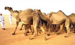 بازار داغ جراحی زیبایی شتر در عربستان!