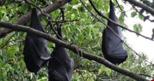 صحنههای ترسناک از مرگ خفاشها در استرالیا/ تصاویر