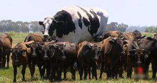 ابر گاو دومتری در استرالیا که مشتری ندارد!/عکس