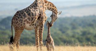 تصاویری تلخ از تلاش ناموفق زرافهی مادر برای نجات فرزندش از چنگال شیر (+تصاویر)