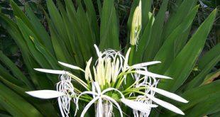 آشنایی با گل سوسن عنکبوتی گرمسیری