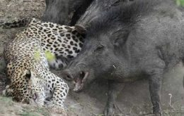 حمله پلنگ به خوک