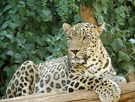 ۲۷۰px-Persian_Leopard_sitting
