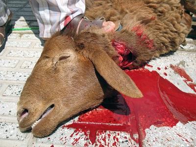 کلیپ ذبح گاو کوسفند شتر