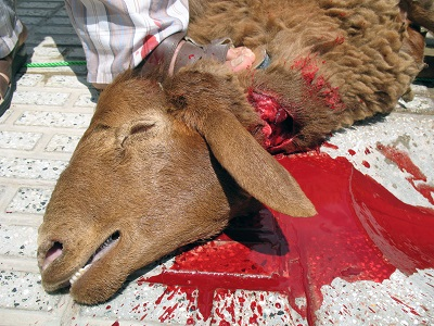Photo of کلیپ ذبح گوسفند،گاو و شتر به طرز فجیعی و ظالمانه در هندوستان (۱۸+)