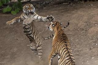 تصاویری شگفت انگیز از جنگ دو ببر نر و ماده در پارک جنگلی هند (+تصاویر)