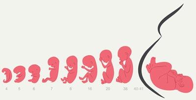 هفته بیست و چهارم بارداری