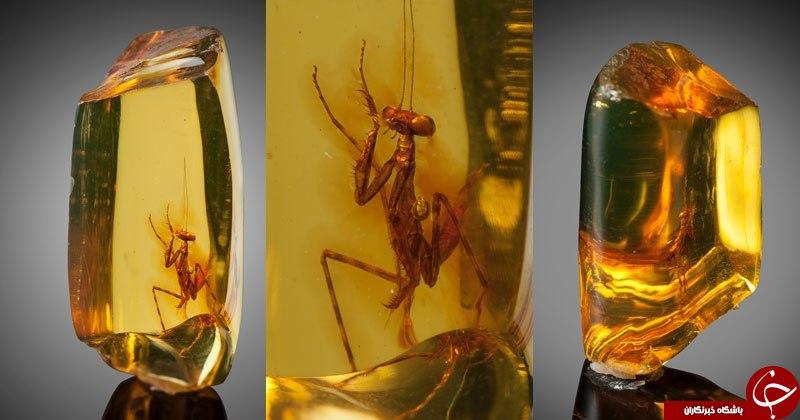 اسارت 12 میلیون سالی یک حشره در کهربا