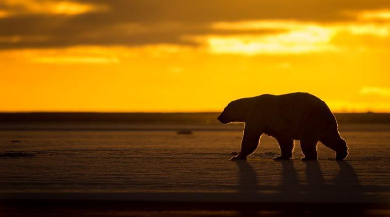 عکس روز نشنال جئوگرافیک از یک خرس قطبی در طلوع آفتاب